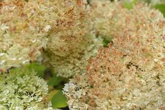 Smooth Hydrangea arborescens white flowers at summer garden Royalty Free Stock Photos