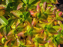 Smooth hydrangea leaves in fall time Stock Image