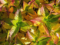 Smooth hydrangea leaves in fall time Stock Photography
