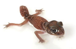 Smooth Knob-tailed Gecko Royalty Free Stock Photos