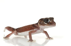 Smooth Knob-tailed Gecko Stock Photography