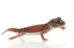 Smooth Knob-tailed Gecko Stock Images