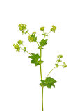 Smooth lady s mantle (Alchemilla glabra) Stock Photos