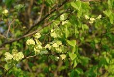 Smooth-leaf carpinifolia van Iepulmus royalty-vrije stock foto's