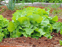 Smooth lettuce Royalty Free Stock Image
