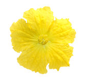 Smooth Luffa. Flower isolated on white background Stock Photo