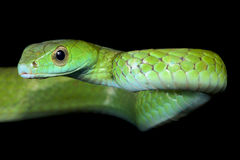 Smooth machete snake, Chironius scurrulus. The Smooth machete snake, Chironius scurrulus, is a fast, diurnal snake species found across the Amazon Royalty Free Stock Photography
