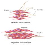 Smooth muscle innervation. Types of Smooth muscle innervation, eps10 Stock Photos