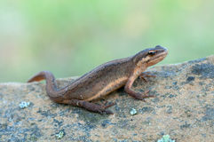 Smooth Newt. Macro of a Smooth Newt Royalty Free Stock Photos