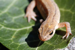 Smooth newt or common newt / Lissotriton vulgaris Royalty Free Stock Photography