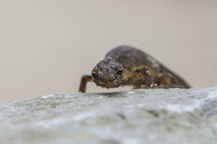 Smooth newt Lissotriton vulgaris portrait Royalty Free Stock Photography