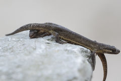 Smooth newt Lissotriton vulgaris portrait Stock Photography