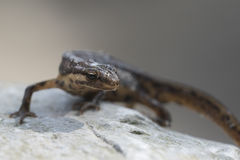 Smooth newt Lissotriton vulgaris portrait Royalty Free Stock Photos