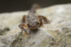 Smooth newt Lissotriton vulgaris portrait Royalty Free Stock Photo