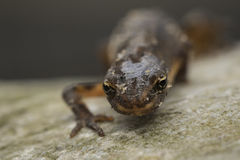Smooth newt Lissotriton vulgaris portrait Royalty Free Stock Image