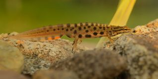 Smooth newt. & x28;Lissotriton vulgaris& x29; captured under water in the small lagoon Stock Photo