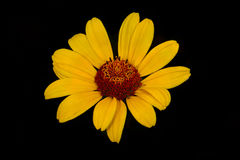Smooth oxeye Royalty Free Stock Photography
