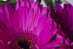 Smooth pink petals gerbere in bloom flower close up. Smooth pink petals gerbere flower close up royalty free stock photos