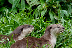 Smooth River Otters Stock Images