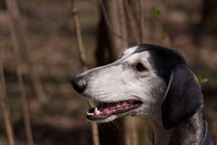 Smooth saluki Royalty Free Stock Photography