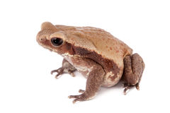 Smooth-sided toad isolated on white Royalty Free Stock Image