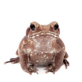 Smooth-sided toad isolated on white Royalty Free Stock Photo