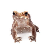 Smooth-sided toad isolated on white Stock Image
