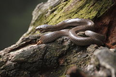 Smooth snake Stock Photo