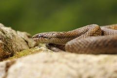 Smooth snake basking in natural habitat Stock Photo