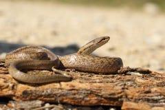 Smooth snake basking on tree bark Royalty Free Stock Photo