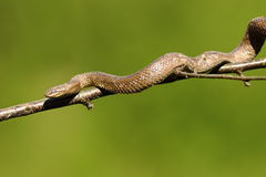 Smooth snake climbing on tree branch. Coronella austriaca , over green out of focus background Stock Image