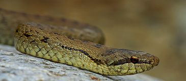 Smooth snake (Coronella austriaca) Royalty Free Stock Images