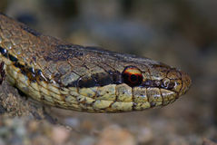 Smooth snake (Coronella austriaca) Royalty Free Stock Photography