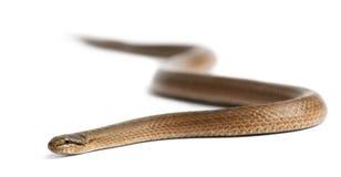 Smooth snake, Coronella austriaca Royalty Free Stock Photography