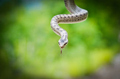 Smooth Snake, Coronella austriaca close up Stock Photos