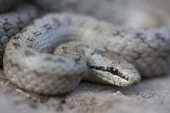 Smooth snake Coronella austriaca is a non-venomous colubrid species found in northern and central Europe, but also as. Far east as northern Iran macro portrait Royalty Free Stock Images