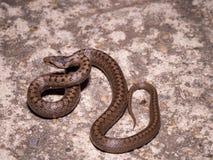 Smooth snake Coronella austriaca Royalty Free Stock Photography