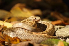 Smooth snake on forest ground Royalty Free Stock Image