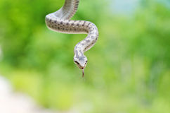 Smooth Snake. On green background Stock Image