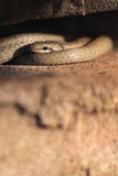 Smooth snake Stock Photos