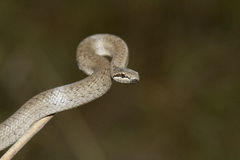 Smooth snake sitting on a branch. Stock Image