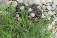 Smooth snake (Coronella austriaca). Royalty Free Stock Photo