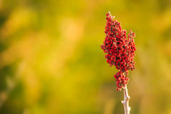 Smooth Sumac Stock Images