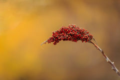 Smooth Sumac. Horizontal image of a single smooth sumac. Image taken in a Kansas prairie on November 6. 2015 Royalty Free Stock Photography