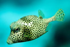 Smooth truckfish. In the puffer fish family Stock Photos