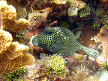 Smooth Trunk Fish Royalty Free Stock Images
