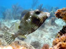 Smooth Trunk fish Royalty Free Stock Photo