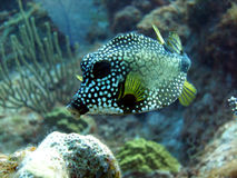 Free Smooth Trunkfish Royalty Free Stock Image - 10955196