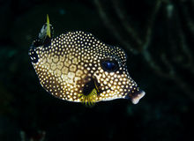 Smooth Trunkfish Royalty Free Stock Photo