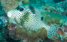 Smooth Trunkfish Royalty Free Stock Photos
